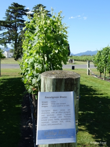 Sauvignon Blanc grapevines at Wither Hills