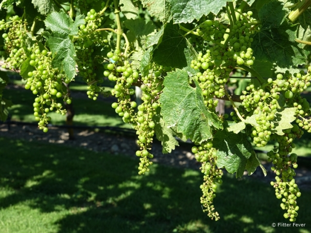 Young white grapes at Wither Hills