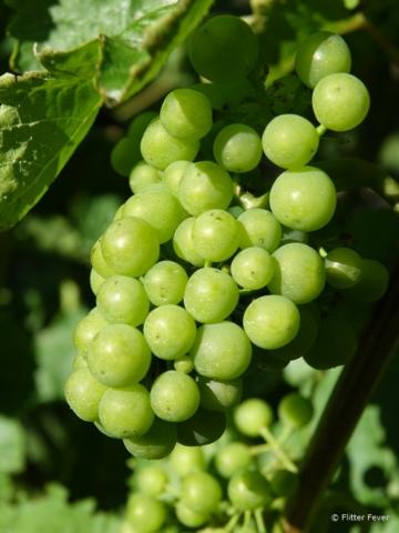Grapes Blenheim
