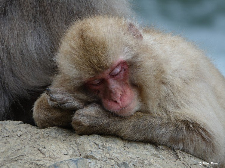Sleeping beauty at Jigokudani Yaen-koen Snow Monkey Park