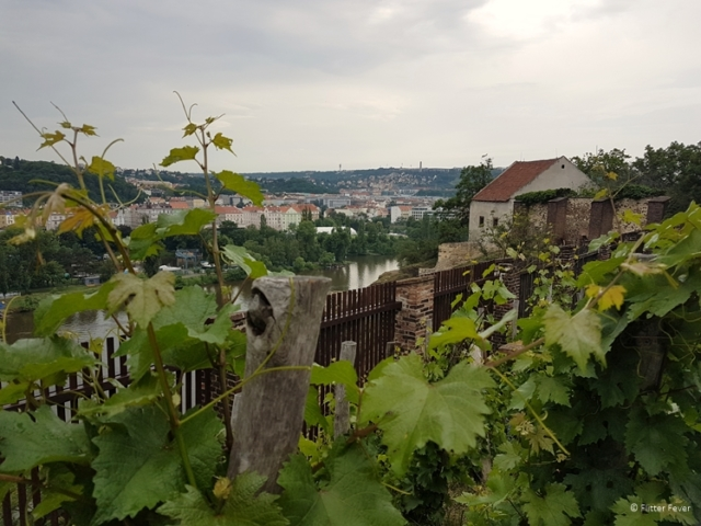 Grape vines with a view in Vysehrad, Prague