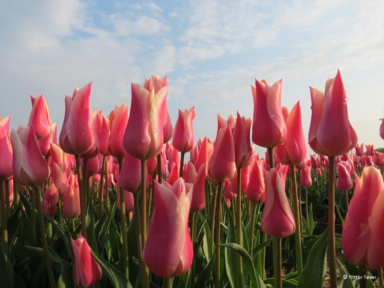 Pink tulips near Alkmaar