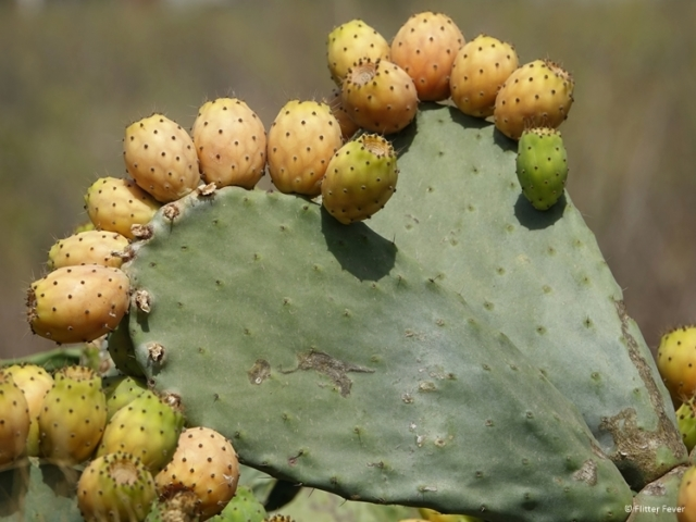 Prickly pears on cactus in heart shape (Ibiza)