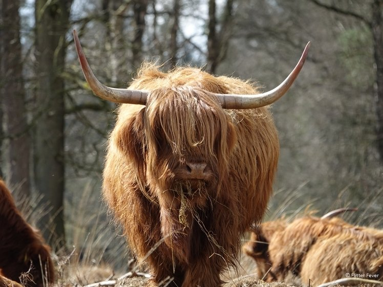 Scottish Highlander in Drenthe