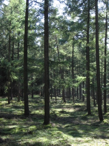 Trees at Veluwe forest in The Netherlands