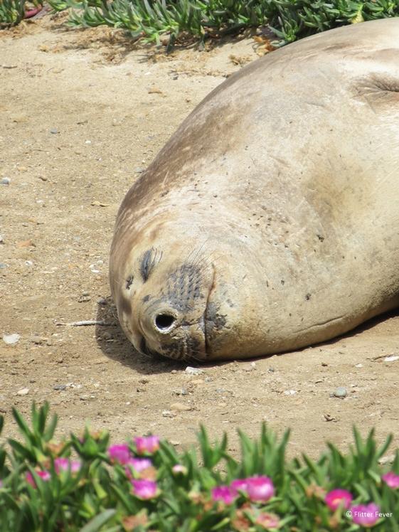 Elephant seal at Peninsula Valdes beach