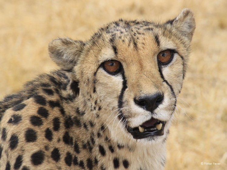 Cheetah up close at CCF Otjiwarongo