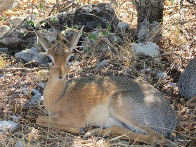 Damara Dik-Dik in Etosha National Park Namibia