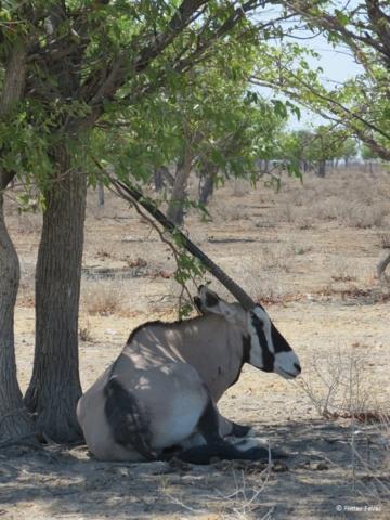 Gemsbok in Etosha NP