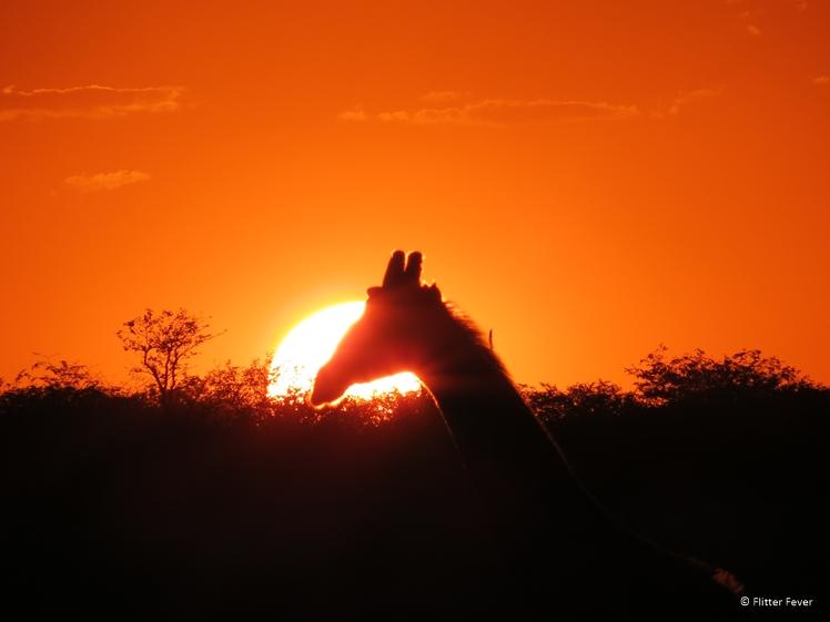 Giraffe at sunset Etosha