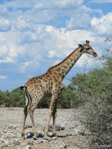 Giraffe eating Etosha