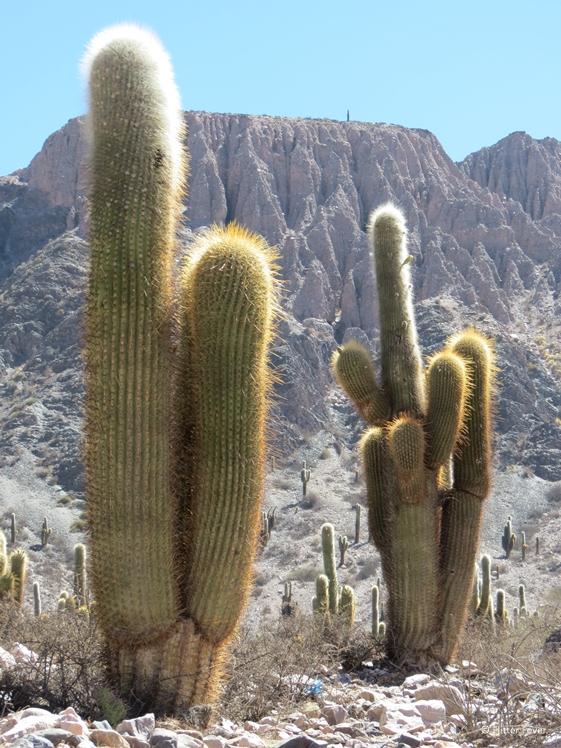 Huge cactus near Salinas Grandes