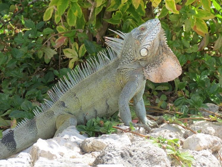Huge iguana at Kontiki Beach Resort Curacao