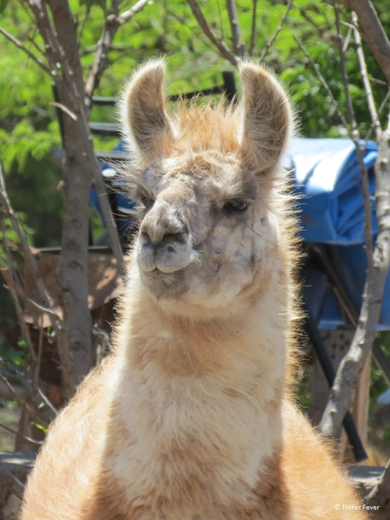Is this a lama or a guanaco, what do you think??
