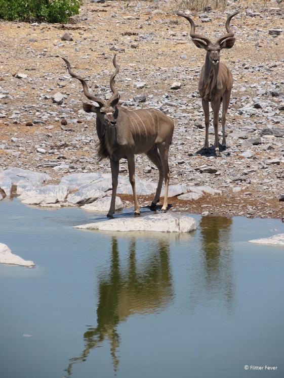 Kudu couple at waterhole in Etosha