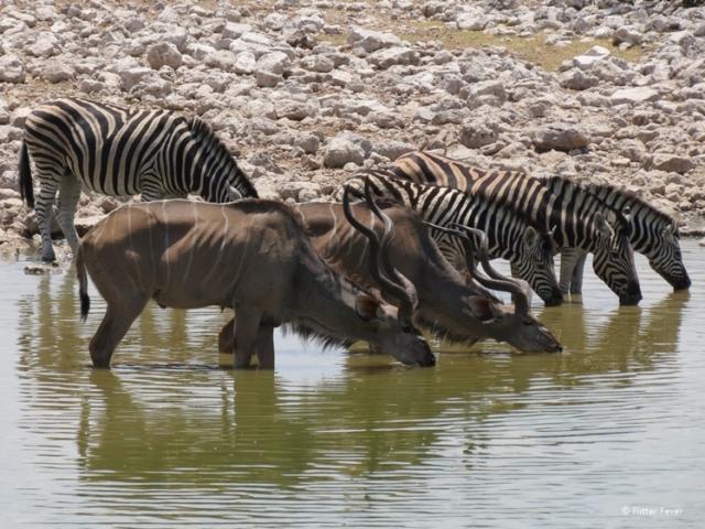 Kudus and zebras at Etosha NP waterhole