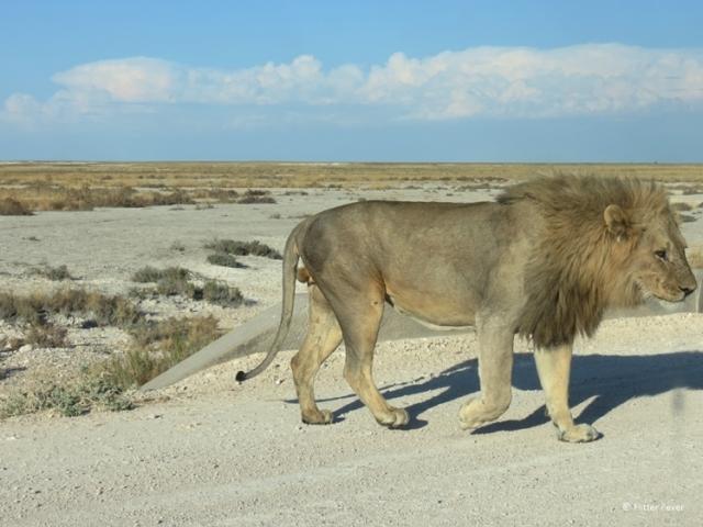 Lion crossing the road at Etosha Pan