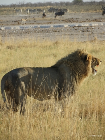 That is one angry lion Etosha NP Namibia