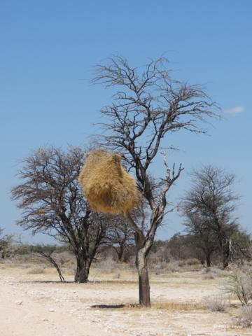 Sprokieswoud Etosha Namibia