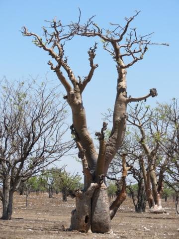 Sprokieswoud tree Etosha National Park Namibia Africa