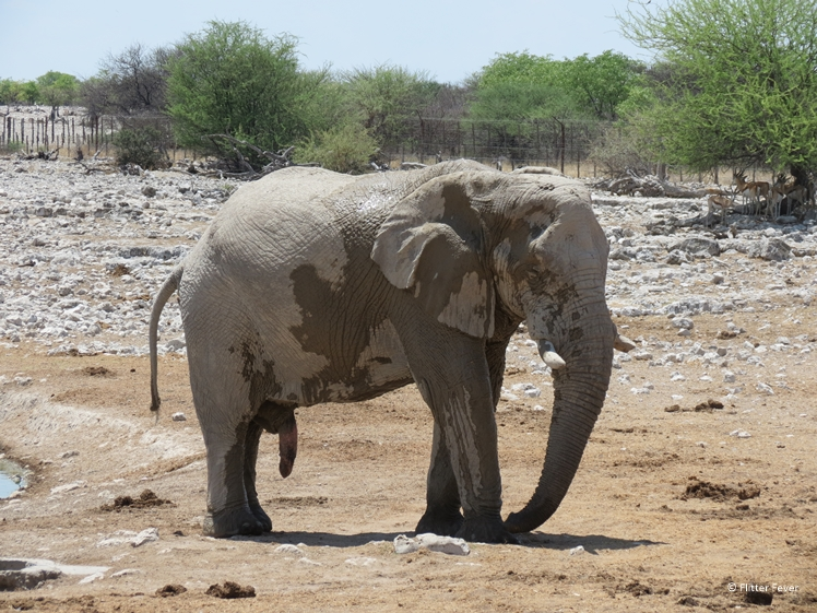 What are you looking at elephant dick Etosha