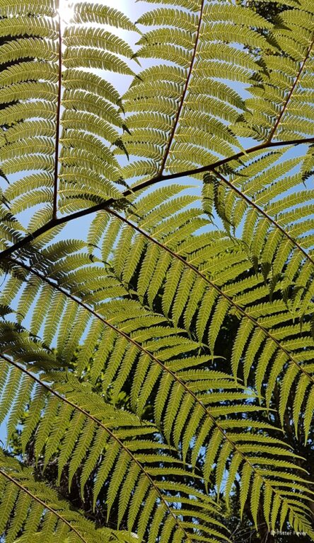 Ferns at cathedral Cove Walk Coromandel