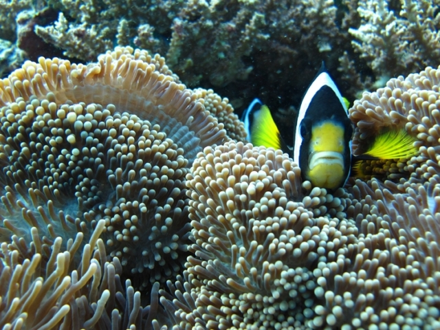 Do not make this fish homeless by taking coral with you when diving, travel climate friendlier