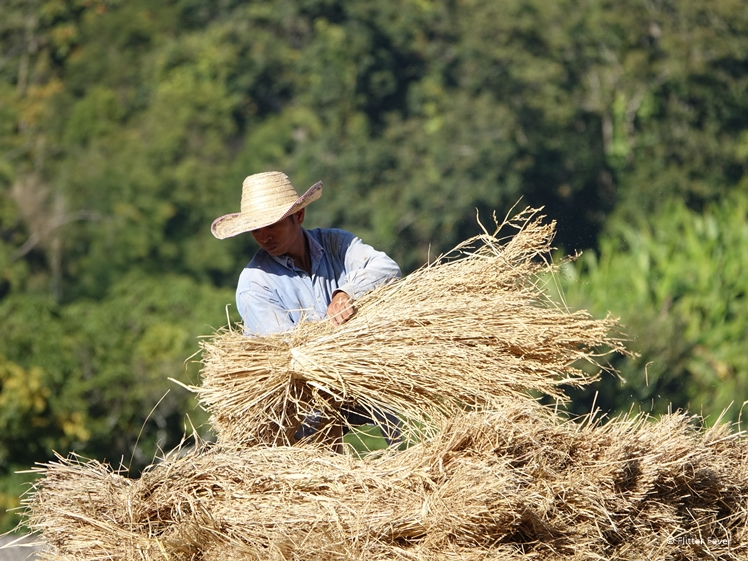 Thai man piling up harvested rice plants in Pai