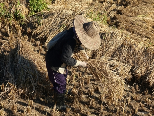 Thai worker harvests the rice from the field in Pai at Bamboo Bridge in December