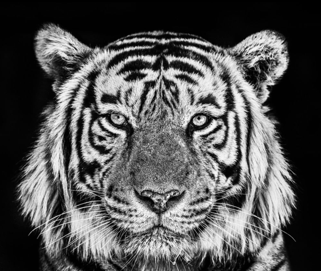 Tiger David Yarrow