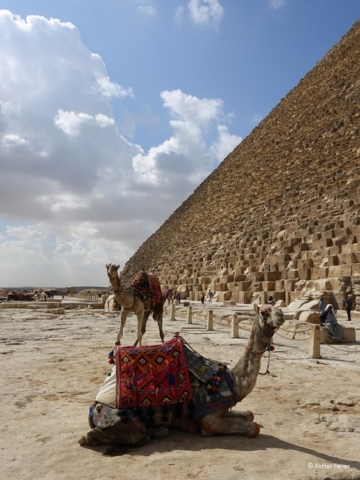 Camels waiting for rides at the Gread Pyramid in Giza Egypt