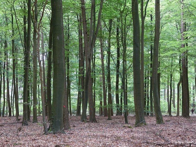 Grote bomen gezien tijdens boswandeling in Westerbork