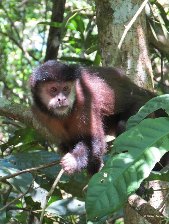 Cai monkey Iguazu Falls