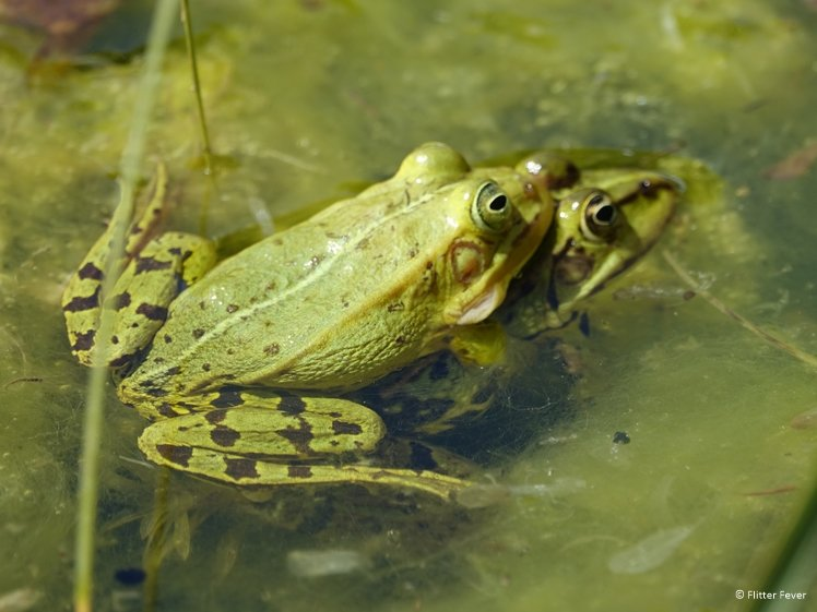 Love is all around in Drenthe frogs in pond Eext