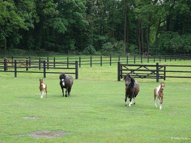 Mini horses near Balloo