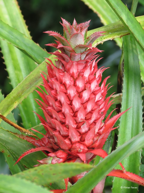 Strange fruit or plant that looks-like a red version of a pineapple