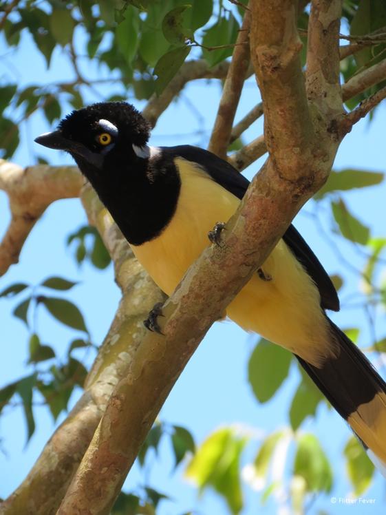 Pretty yellow black bird Iguazu Falls
