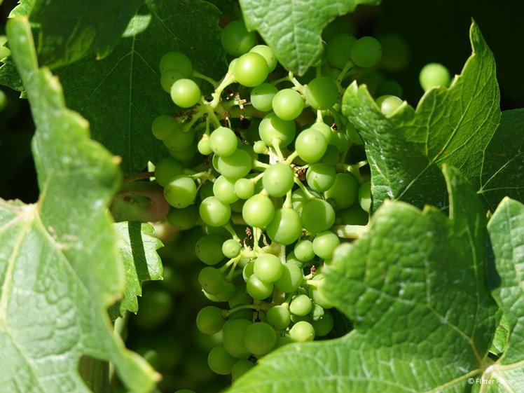 White wine grapes in the making