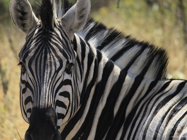 Zebra in Etosha NP Namibia