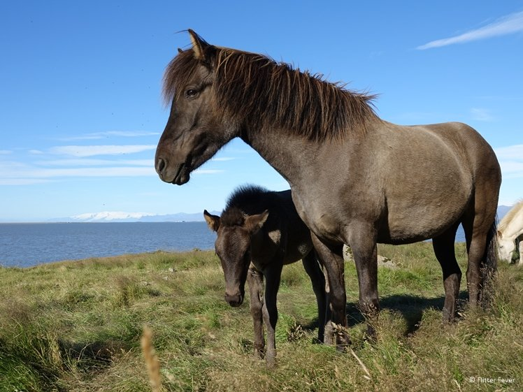 Icelandic horse with foal near Vestrahorn Iceland
