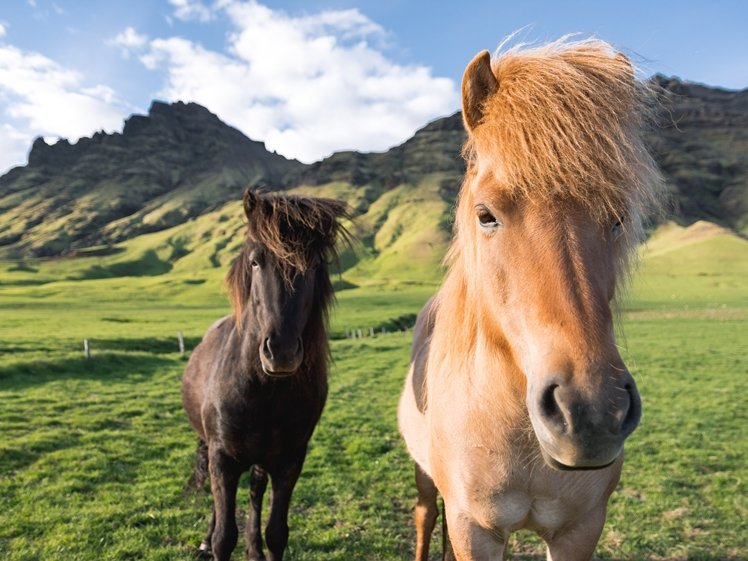 Two Icelandic horses in a field