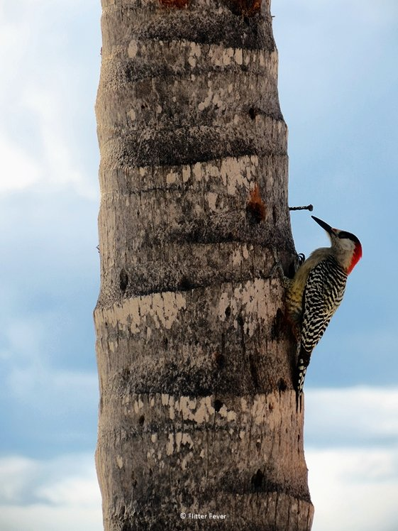 Woodpecker on a palm tree on Cuba