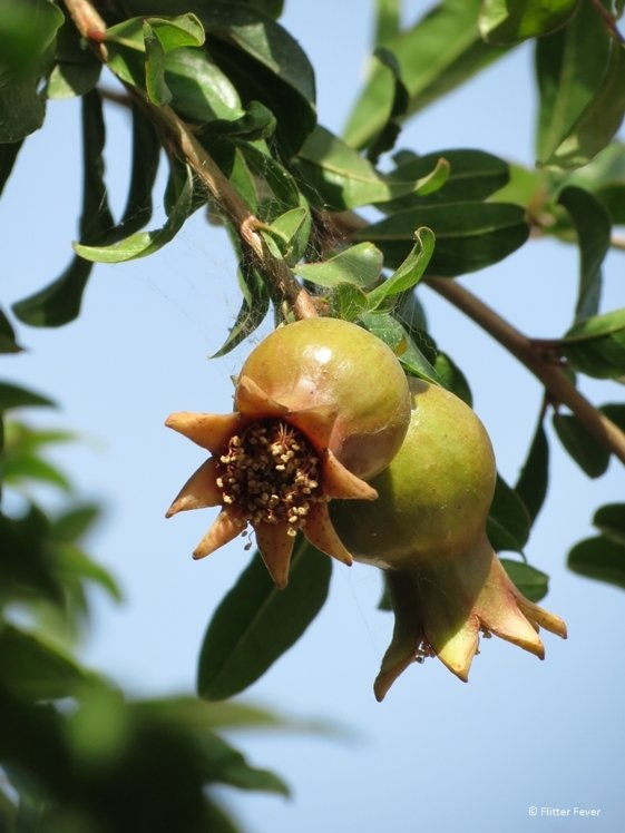 Pomegranate hanging on a tree in Alacati