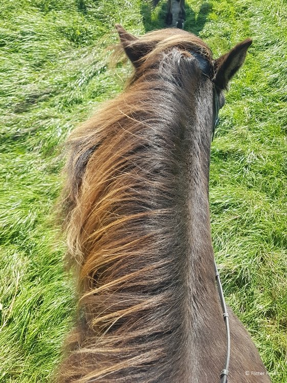 Riding an Icelandic horse in Schoorl The Netherlands