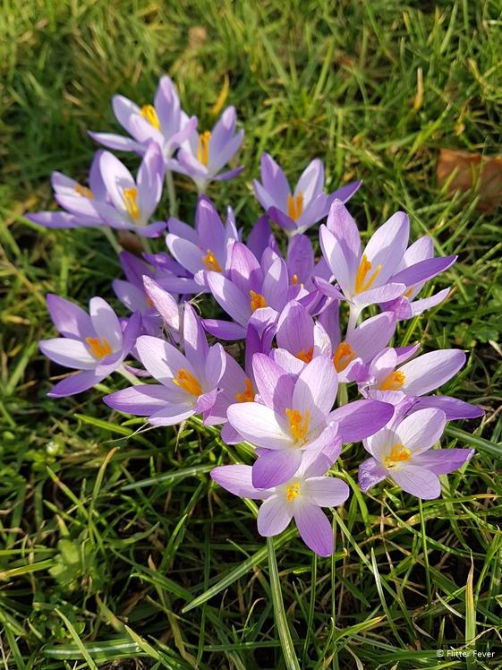 Paarse krokussen in bloei in Westerbork Drenthe