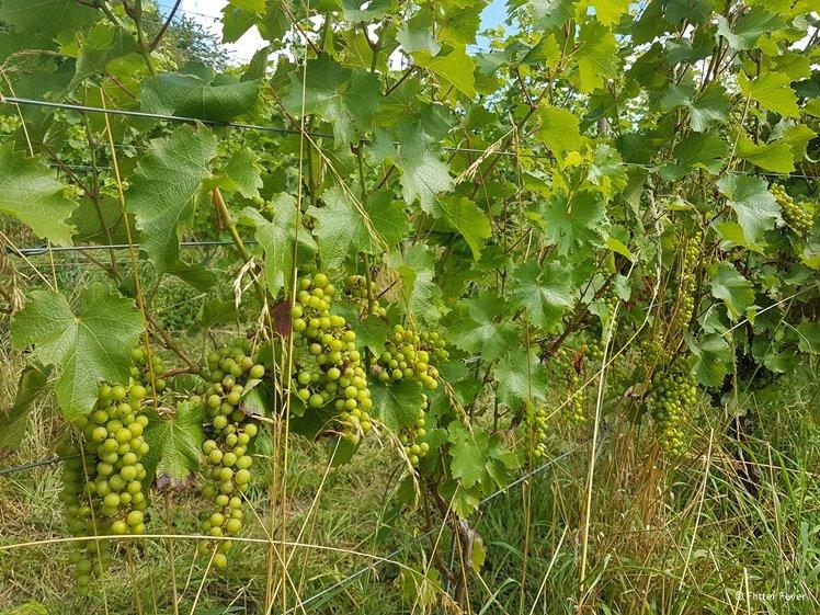 Wijnranken met witte druiven bij Domein Aldenborgh