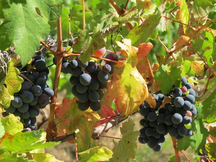 Red grapes ripening in the sun