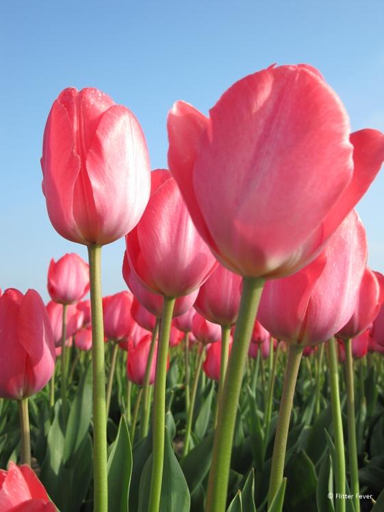 Roze tulpen in Nederland april