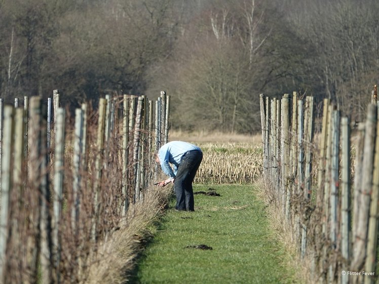 Wijnboer in Drenthe bezig met de wintersnoei