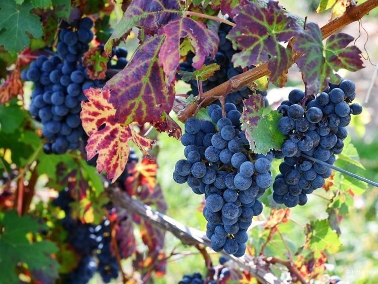Red grapes in a Dutch vineyard
